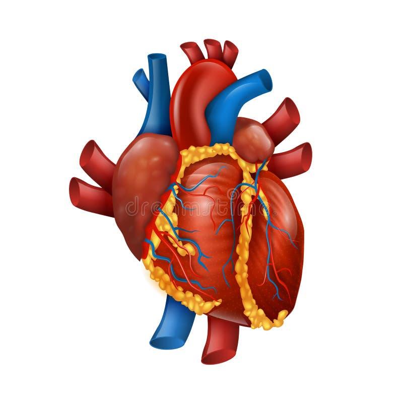 健康现实人的心脏传染媒介例证 库存例证