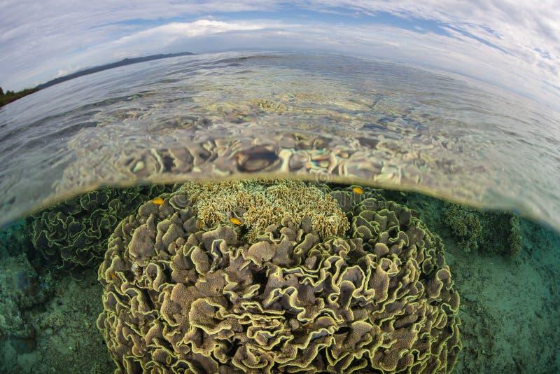 健康珊瑚在Shallows增长在安汶,印度尼西亚附近 免版税库存照片