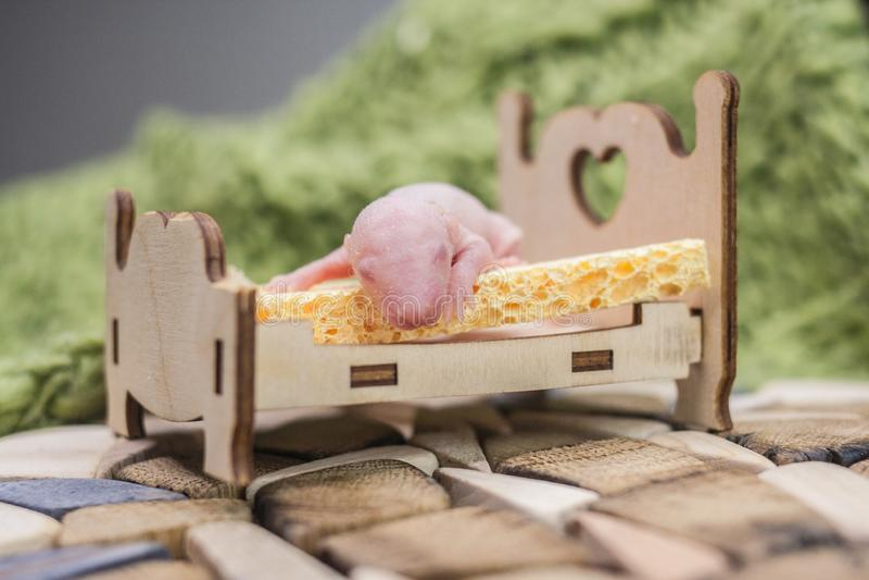 健康睡眠的概念 说谎在轻便小床的小老鼠 库存图片