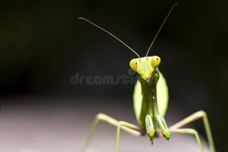 健康绿色螳螂的关闭在有拷贝空间的木板材 免版税库存照片