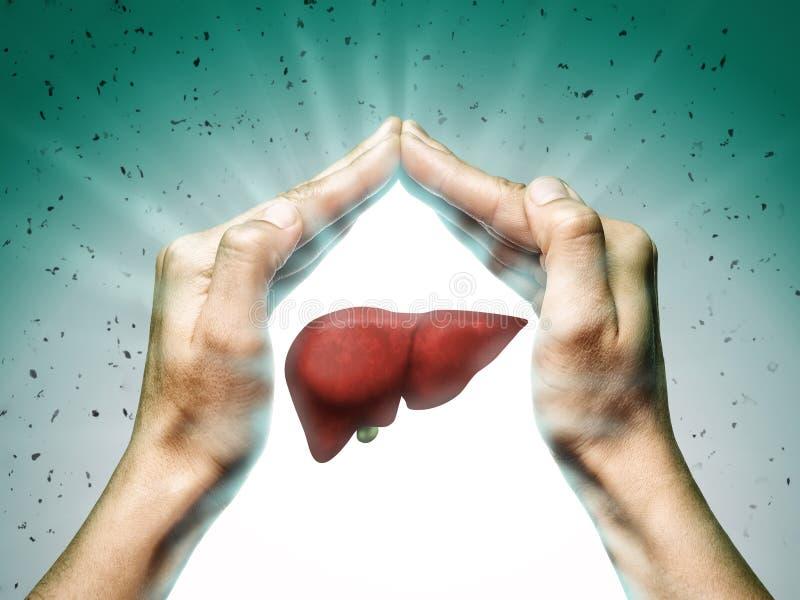 健康肝脏的概念 库存例证