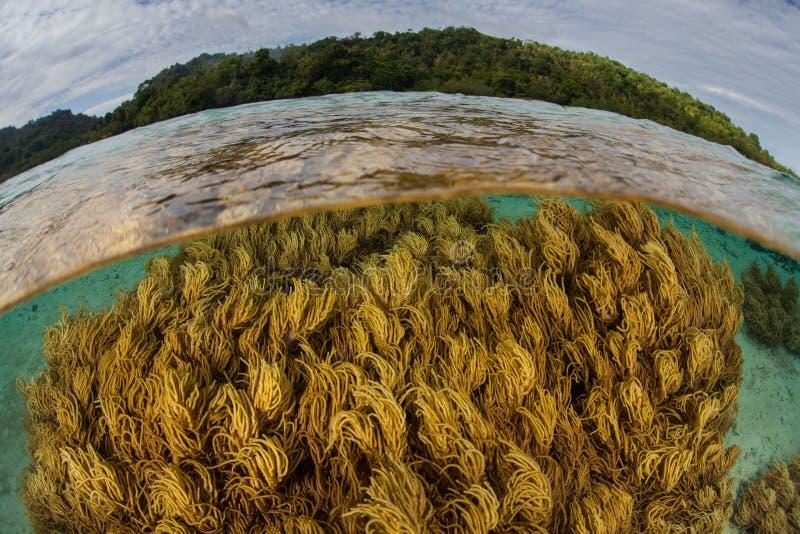 健康软的珊瑚在Shallows增长在安汶,印度尼西亚附近 免版税库存照片