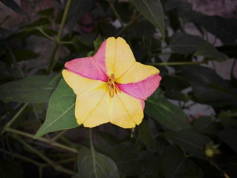 健神露与两种颜色的jalapa花 库存图片