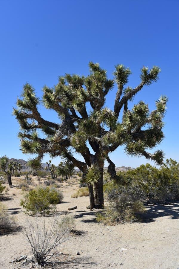 偶象约书亚树在莫哈维沙漠在加利福尼亚 库存图片