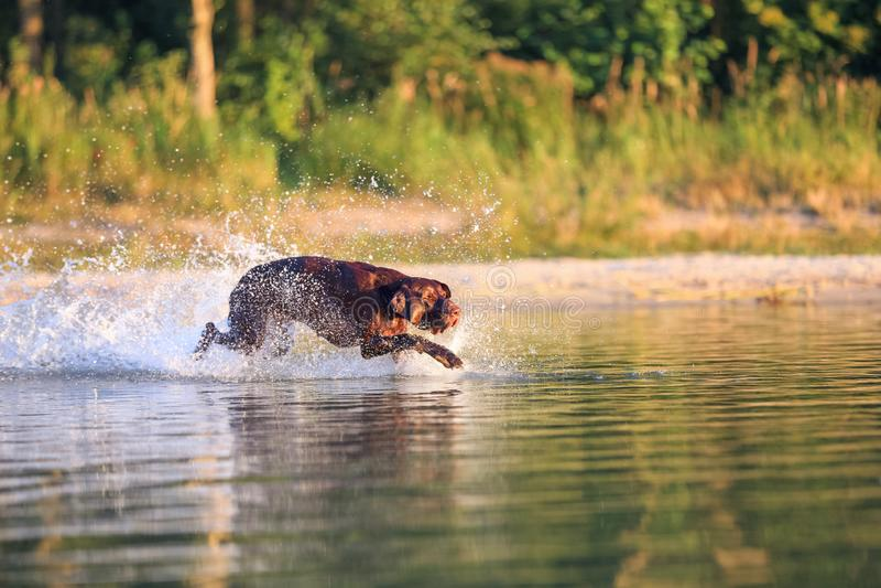 偷偷地走在水的猎犬飞溅和做波浪 太阳打开枪口 良种德国短毛指针 库存图片