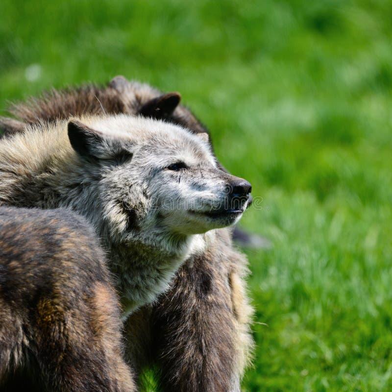 偷偷靠近和吃在森林c里的美好的北美灰狼Cnis狼疮 免版税库存图片