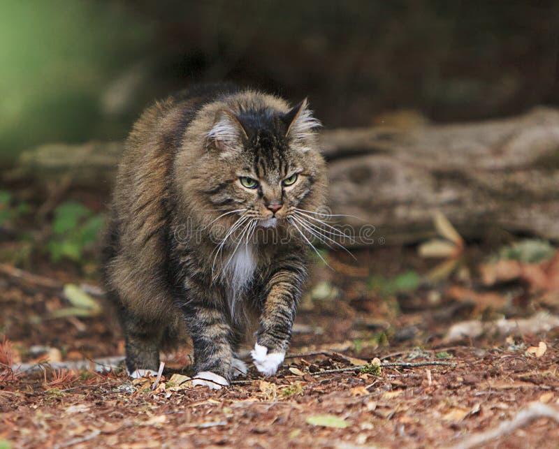 偷偷靠近在树木繁茂的森林外面的猫 免版税库存图片