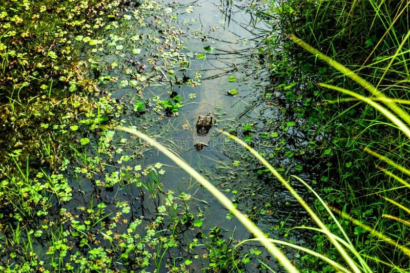 偷偷靠近在水中的鳄鱼 免版税库存照片