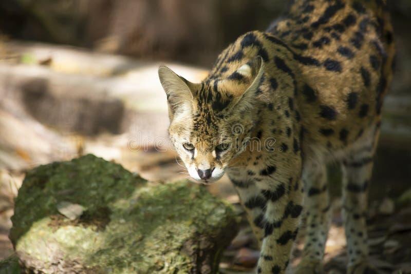 偷偷靠近它的牺牲者的薮猫 库存照片