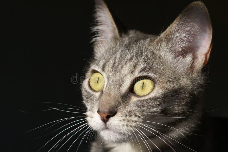 偷偷靠近的全部赌注猫 免版税图库摄影