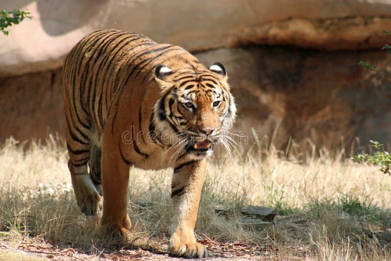 偷偷靠近的老虎 免版税库存照片