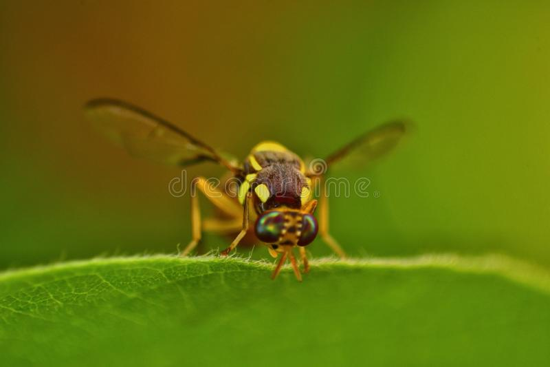 偷看从叶子的大黄蜂 免版税库存照片