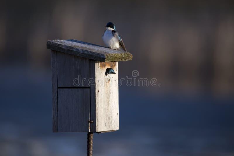 偷看从鸟房子开头的逗人喜爱的母树燕子,当男性坐上面时 库存照片