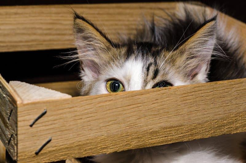 偷看出于一种木包装bo的白色和棕色蓬松小猫 免版税库存照片