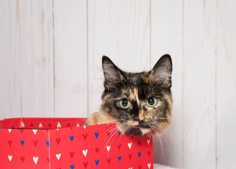 偷看在华伦泰` s天箱子外面的Tortie小猫 免版税库存图片