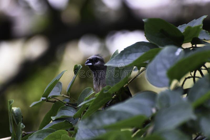 偷看在叶子的好奇有斑点的Mousebird colius striatus 免版税库存照片