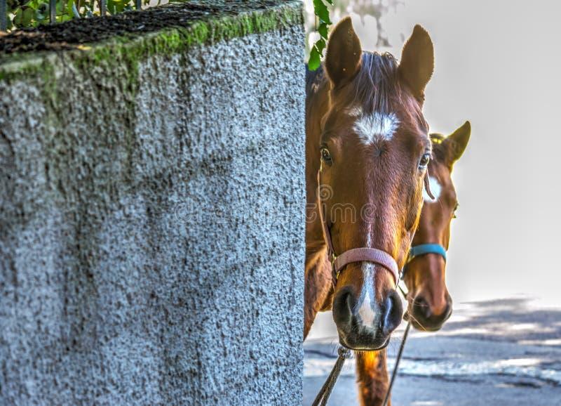 偷看在土气墙壁后的马 免版税库存图片