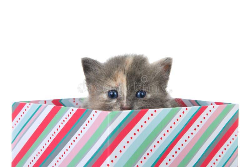 偷看在当前箱子外面的被稀释的tortie小猫 免版税库存图片