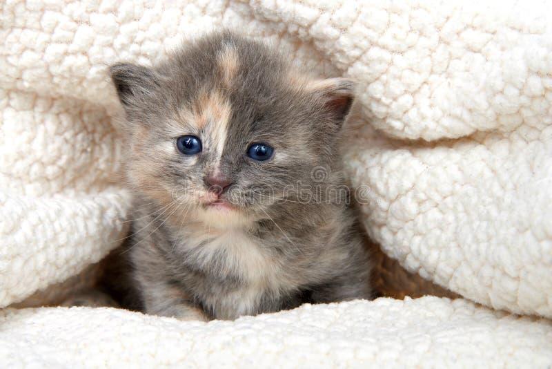 偷看在羊皮毯子外面的被稀释的tortie小猫 库存图片