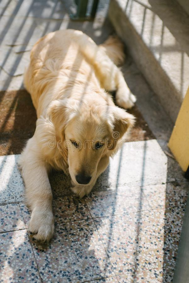 偷看门的金毛猎犬 库存照片