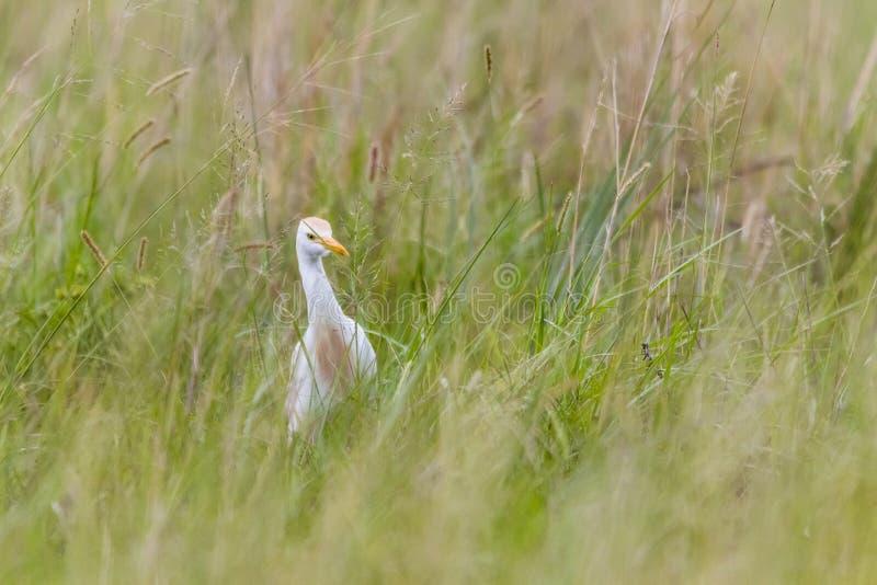 偷看从草的白鹭 免版税库存照片