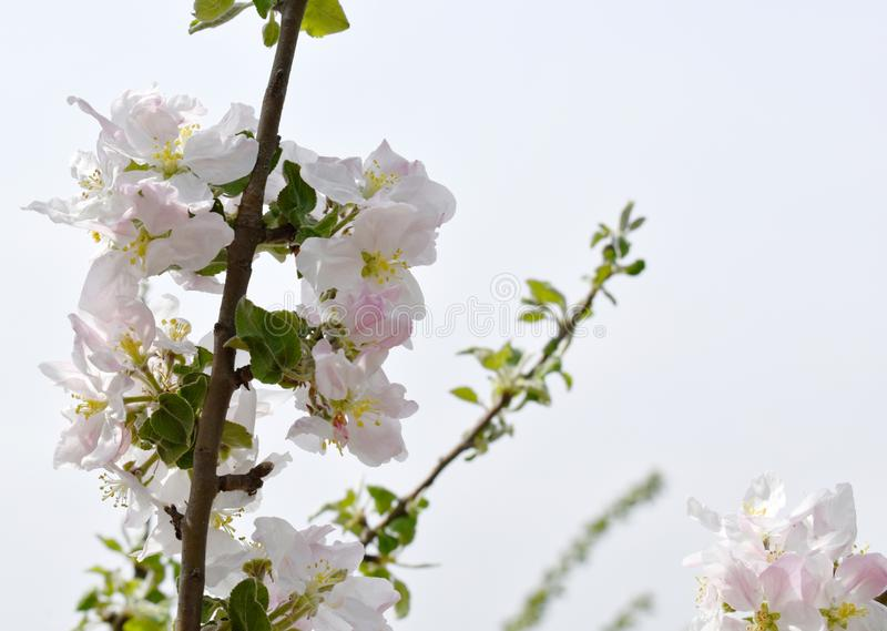 储蓄照片春天花美妙地进展的树枝 免版税图库摄影