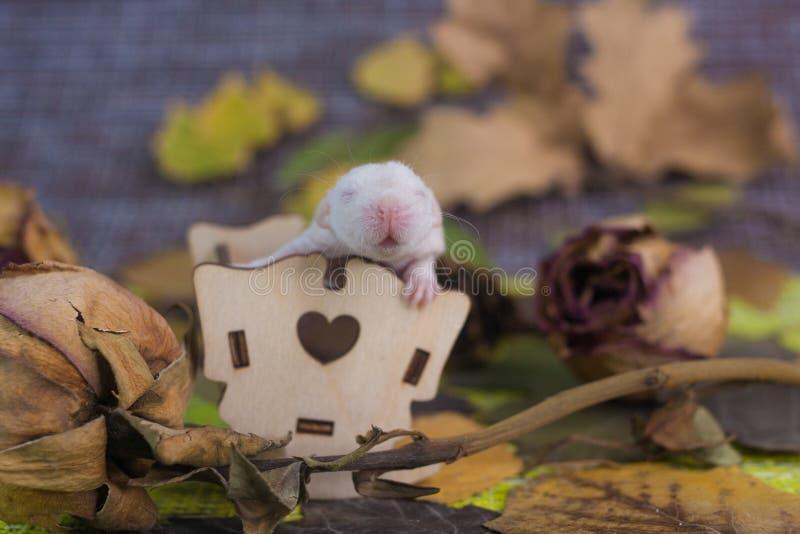 催眠曲的概念 坐在一张小婴孩床上的新出生的鼠 库存照片