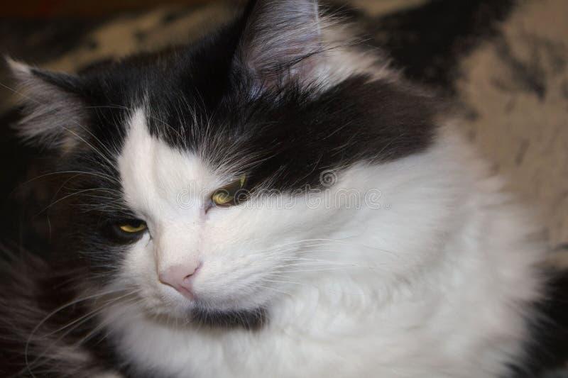 傲慢猫 库存照片