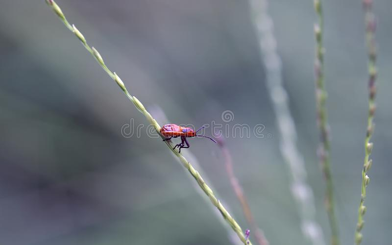傲慢红色甲虫 免版税图库摄影