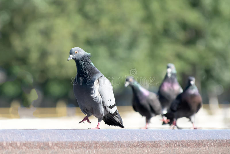 傲慢鸽子鸟走在喷泉边缘的和其他照看他 免版税库存图片