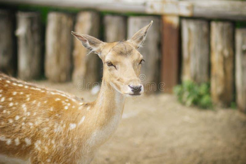 傻的矮小的害羞的呈杂色的鹿 免版税库存图片