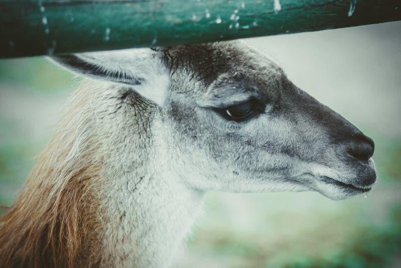 傻的矮小的害羞的呈杂色的鹿 库存照片