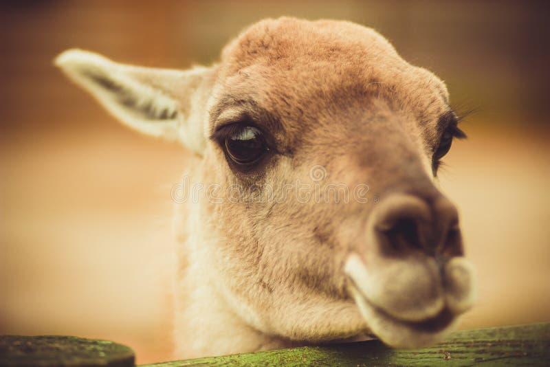 傻的矮小的害羞的呈杂色的鹿 免版税图库摄影