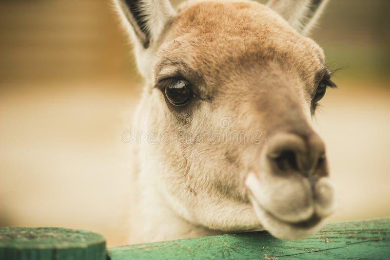傻的矮小的害羞的呈杂色的鹿 免版税库存照片