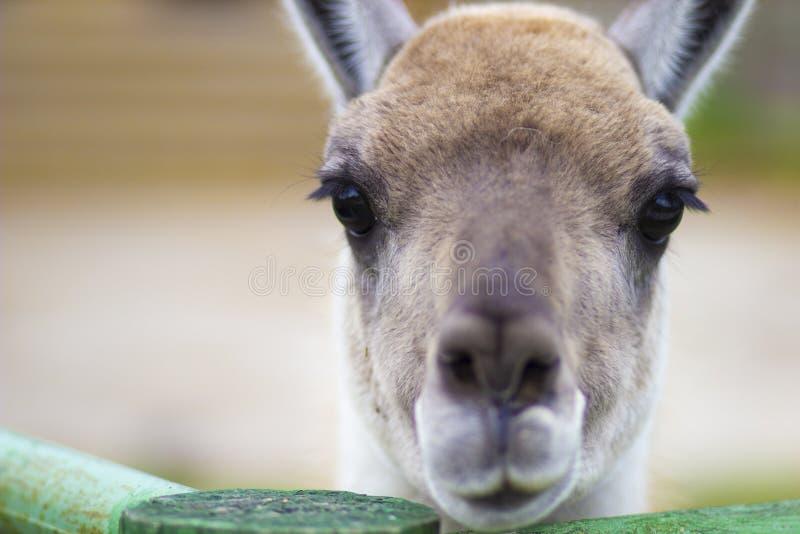 傻的矮小的害羞的呈杂色的鹿 库存图片
