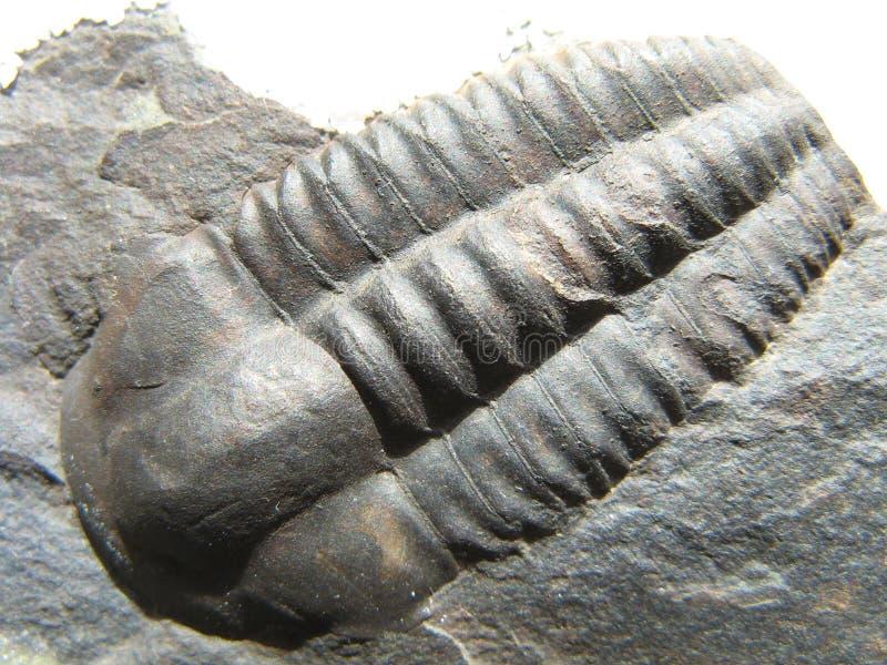 僵化的史前trilobite 免版税库存照片