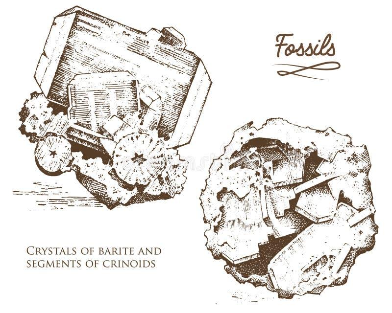 僵化的植物、石头和矿物、水晶、史前动物、考古学或者古生物学 片段化石 向量例证