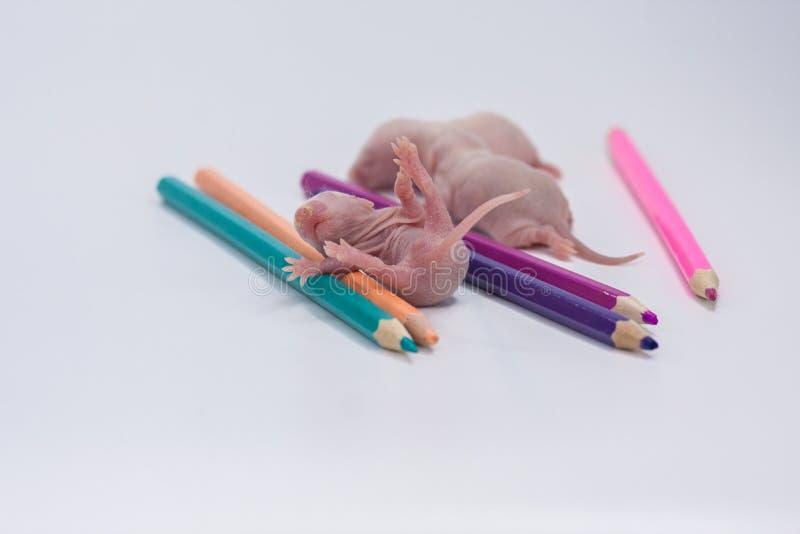 儿童的创造性的概念 一点与颜色铅笔的老鼠 免版税库存照片