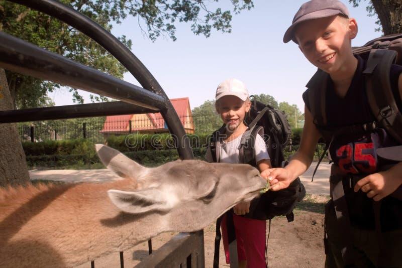 儿童饲料喇嘛 免版税库存图片