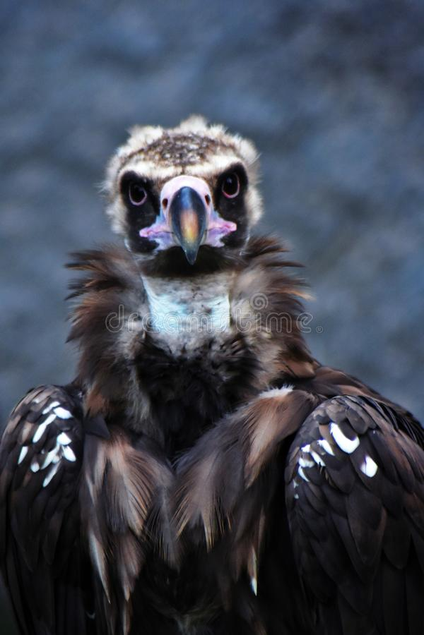 兀鹫在莫斯科动物园里采取的鸟画象 免版税库存图片