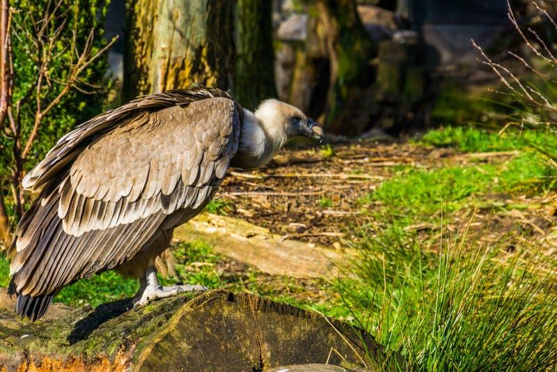 兀鹫的特写镜头画象在树干的,从欧洲的共同的净化剂鸟 库存照片