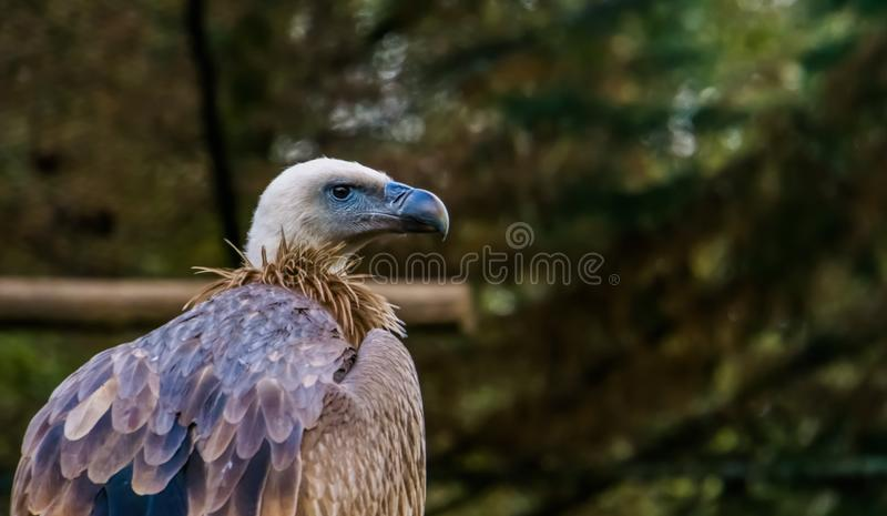 兀鹫的特写镜头,从欧洲的共同的净化剂鸟 库存图片