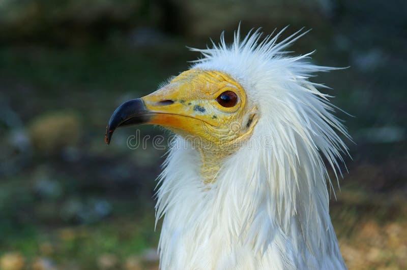 兀鹫percnopterus 免版税图库摄影
