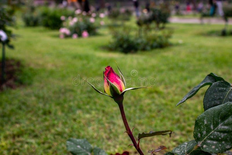 充分一个精采庭院玫瑰,不同颜色,形状 每朵玫瑰来自一个不同的国家 免版税库存图片