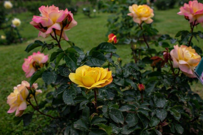充分一个精采庭院玫瑰,不同颜色,形状 每朵玫瑰来自一个不同的国家 库存图片