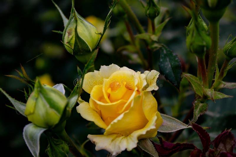充分一个精采庭院玫瑰,不同颜色,形状 每朵玫瑰来自一个不同的国家 图库摄影