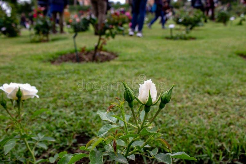 充分一个精采庭院玫瑰,不同颜色,形状 每朵玫瑰来自一个不同的国家 库存照片