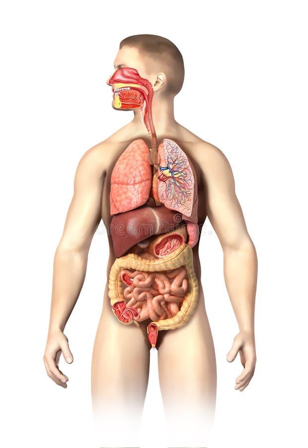 充分供以人员呼吸的解剖学和切掉的消化系统。 皇族释放例证