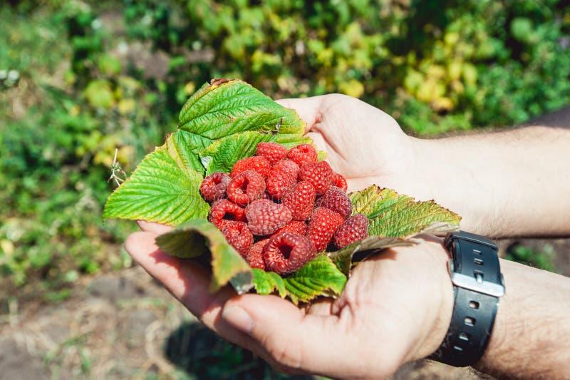 充分供以人员棕榈说谎在莓叶子的刚摘的森林莓悬钩子属植物idaeus 库存照片