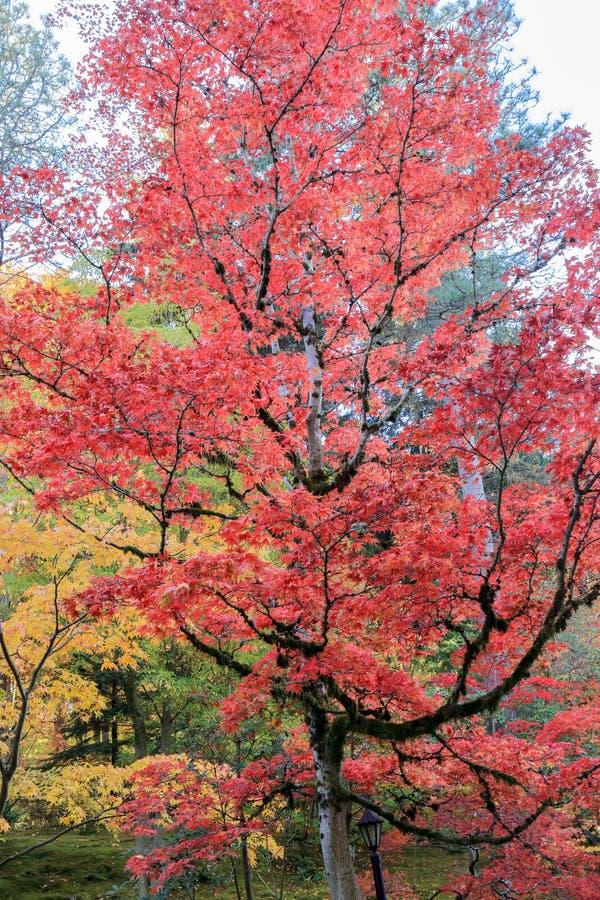 充分在日本庭院的美好的秋天颜色,西雅图华盛顿 库存图片